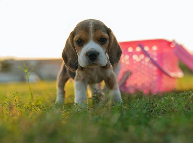 beagle cachorro en grama verde con cesta rosada