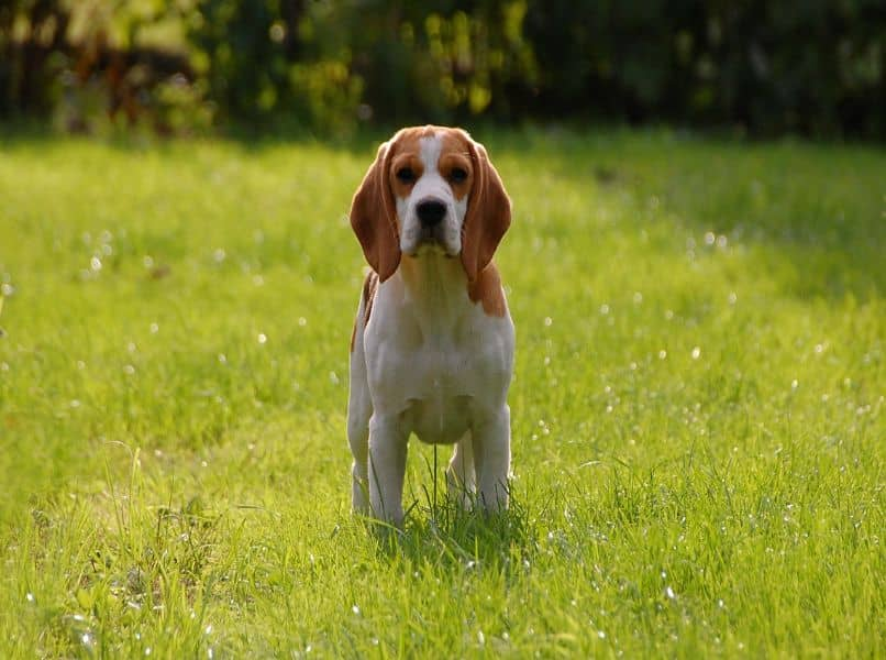 beagle adulto en grama verde
